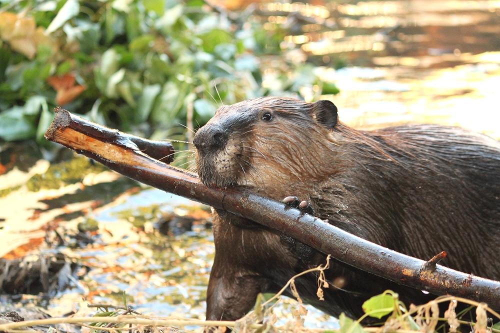 Stick_Beaver